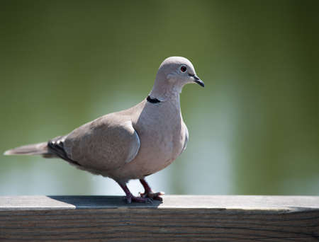 Eurasian Collared Dove photo