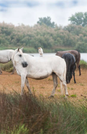 Heron riding on a white Camargue horses photo