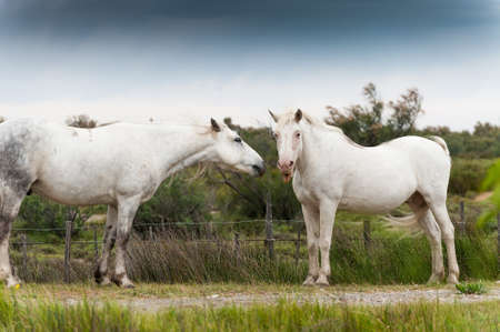 White Camargue horse shows tongue photo