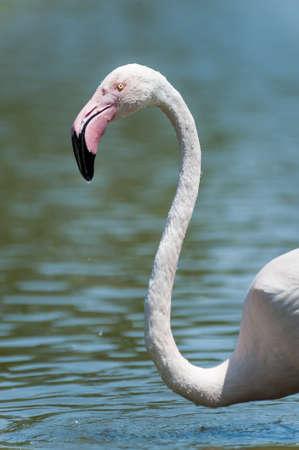 Flamingo in Pont de Gau ornithological park, France Stock Photo - 17667980