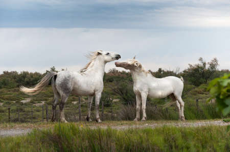 Playing two white Camargue horses photo