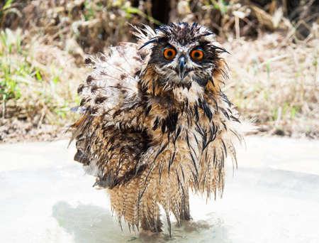 Wet bathing Eurasian Eagle-Owl