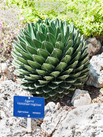taxonomy: Queen Victoria s agave in the park of exotic plants in Monaco