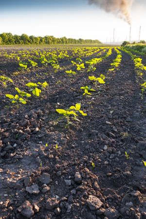Rows of germinating sunflower against a black ground and smoking chimneys