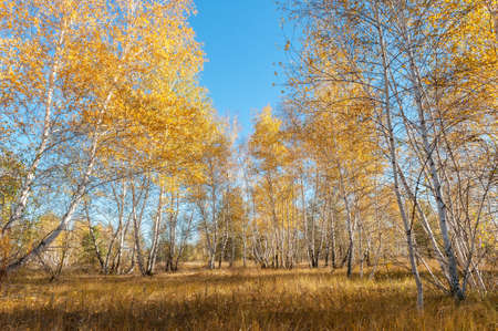Autumn landscape with birch trees, blue sky and withered grass