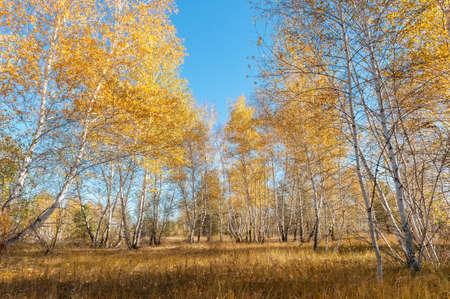 Herfst landschap met berken bomen, blauwe lucht en verdorde gras Stockfoto