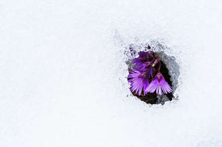 Snow thawed patch with purple flowers Stock Photo