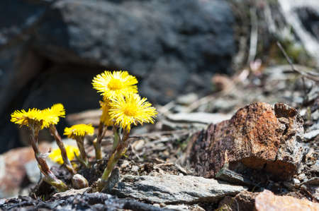 Spring flower coltsfoot on a background of stones