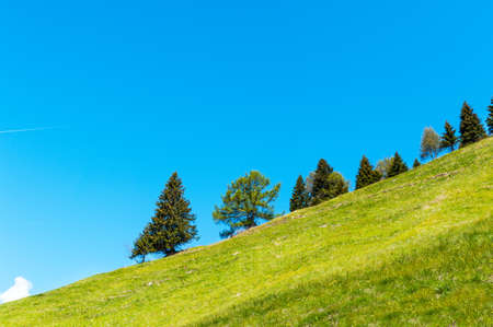 Coniferous trees growing on a hillside and background of blue sky