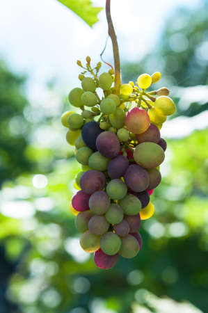 Cluster of grapes Stock Photo