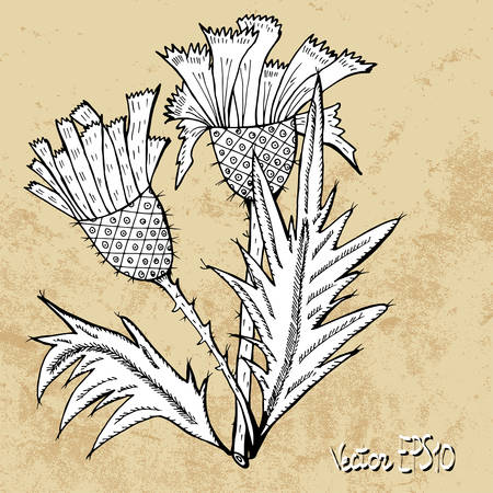 thistle: Thistle flower black and white sketch, vector