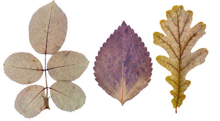 Rose leaves, basil leaf and oak leaf, isolated on white Stock Photo