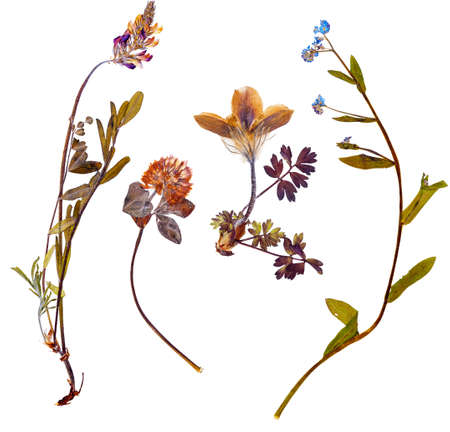 wild botany: Set of wild alpine flowers pressed, isolated