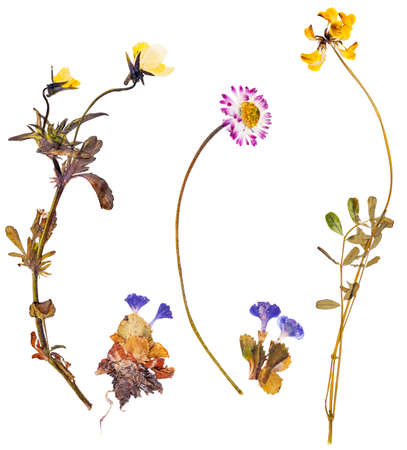 Set of wild alpine flowers pressed, isolated