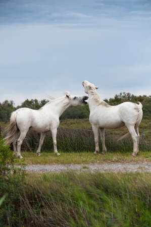 Two playing white Camargue horses photo