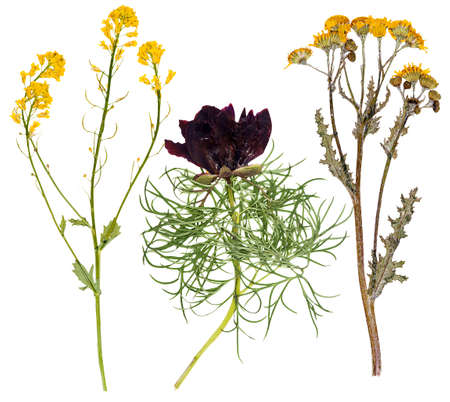 Set of wild flowers pressed, isolated