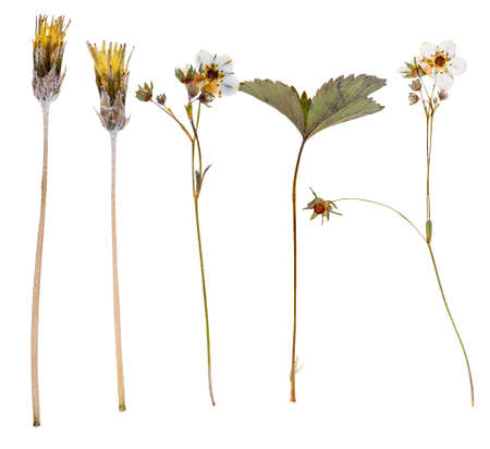 Set of wild flowers pressed, isolated on white