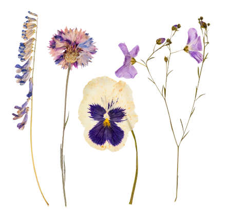 Set of wild dry pressed flowers and leaves, isolated Foto de archivo