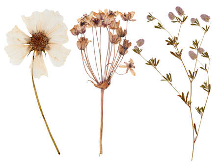 Set of wild dry flowers pressed, isolated Stock Photo