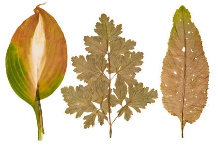 Set of wild dry pressed flowers and leaves, isolated Stock Photo