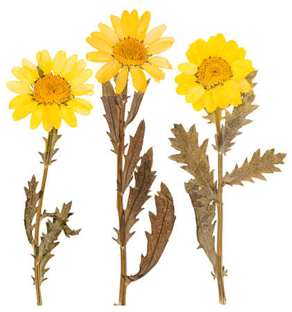 pressed: Set of yellow chrysanthemum flowers pressed isolated