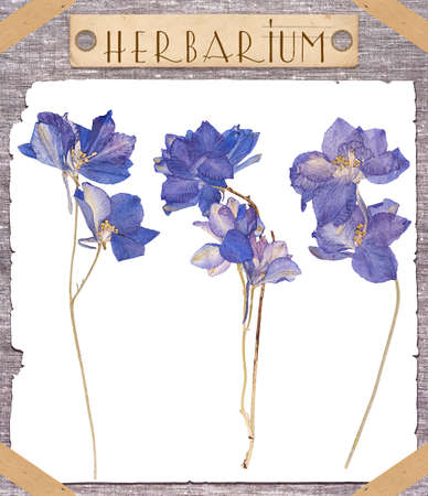 herbarium: Herbarium. Set pressed blue flowers isolated