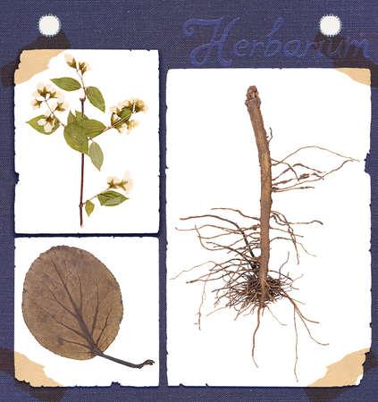 planta con raiz: Herbario establecer partes constituyentes de la planta: raíces, hojas, rama, flor aislada