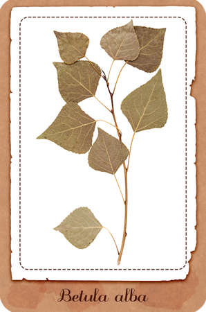 herbarium: Herbarium dry pressed birch twig with leaves isolated