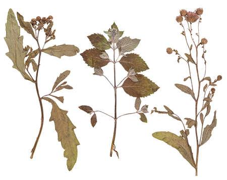 hojas secas: Conjunto de flores silvestres y hojas prensadas en seco, aislado