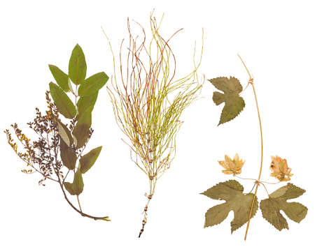 herbarium: Pressed dried herbarium of various plants, isolated