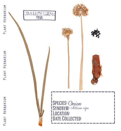 bulb and stem vegetables: Pressed parts herbarium plant onions. Leaves, buds, bulb and seeds of onions isolated on white