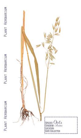 raices de plantas: Prensado de plantas del herbario partes de avena. Hojas, tallos, raíces, mazorca y grano aislado en blanco
