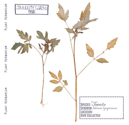 herbarium: Herbarium of pressed parts of the tomato plants. Leaves, stems, roots of the tomato isolated white