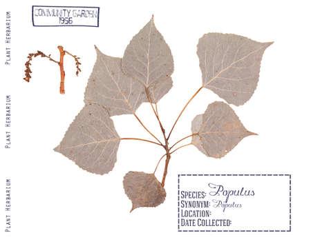 arbol alamo: Herbario de piezas prensadas de chopo. Rama, hojas e inflorescencias aisladas en blanco.