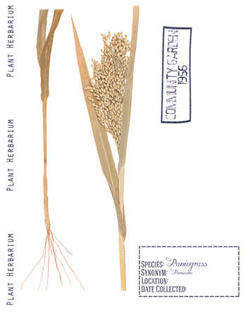 herbarium: Herbarium of pressed parts panicum plants. Leaves, stem, roots and spikelets isolated on white