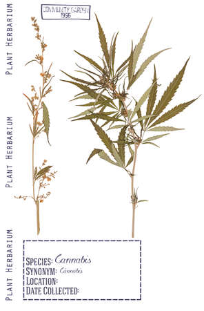 herbarium: Herbarium of pressed parts of the male and female cannabis plants. Stem, leaves, flower isolated on white