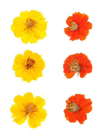 pressed: Set heads of dried pressed yellow and orange flowers isolated