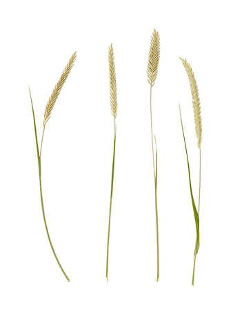 Herbarium collection of grass spikelets isolated on white Stock Photo