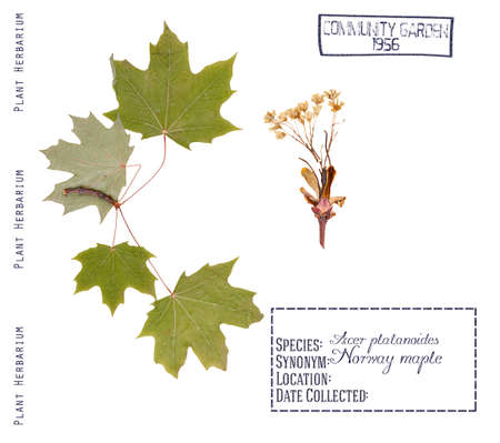 herbarium: Herbarium Norway maple tree. Leaves, buds Norway maple isolated n white