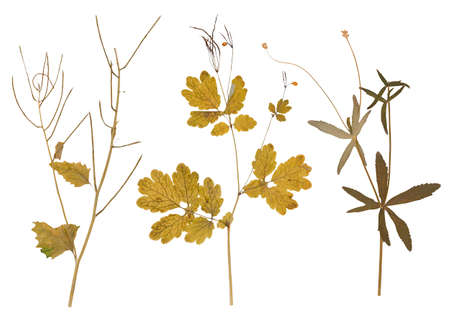 pressed: Set of wild dry pressed flowers and leaves, isolated Stock Photo