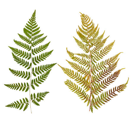 dry leaf: Set of wild dry leaf fern pressed, isolated on white Stock Photo