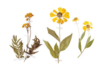Set of herbarium wild dry pressed flowers and leaves, isolated Stok Fotoğraf