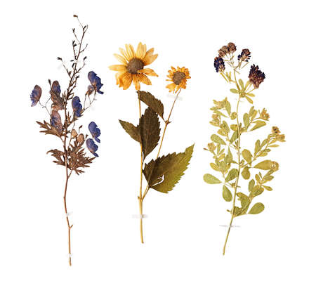 Set of herbarium wild dry pressed flowers and leaves, isolated Reklamní fotografie