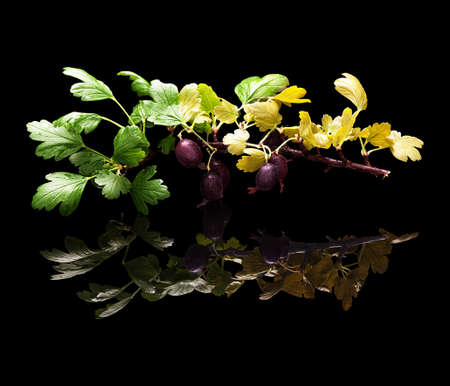 Branch with berries and leaves of purple gooseberry isolated on black glossy background with real reflection Stock Photo