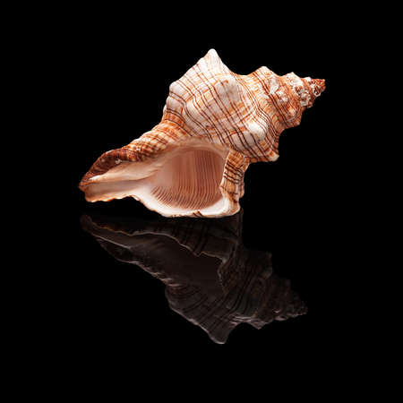 Sea shell with real reflection on black glossy background isolated