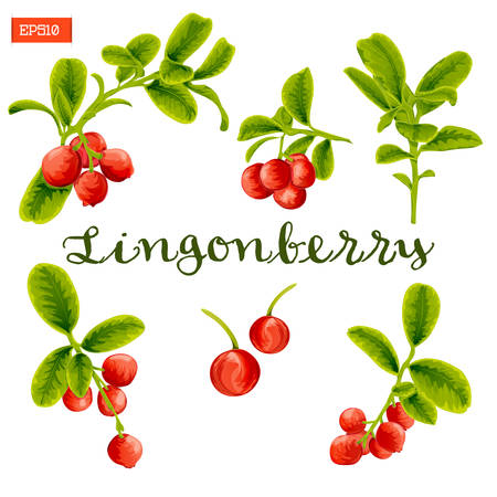 Set of leaves and berries of lingonberry plant isolated. Vector illustration. Hand drawing.