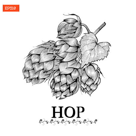 Beer hop vector illustration in engraving style on black and white