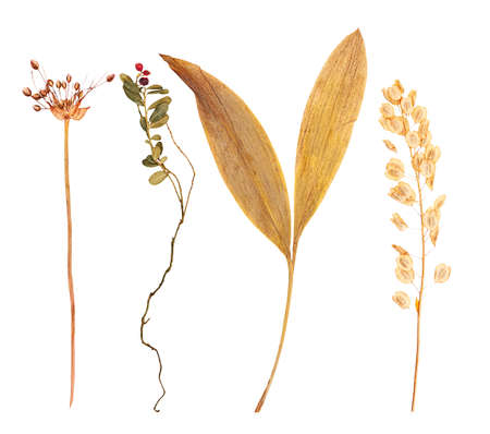 Set of herbarium wild dry pressed flowers and leaves, isolated Stockfoto