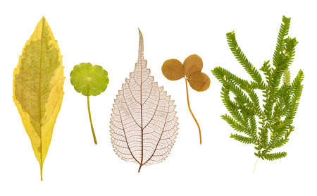 Set of dry pressed leaves of various shapes of different flower and trees isolated on white Фото со стока