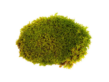 Tussock green moss isolated top view. Silvergreen bryum moss Stockfoto